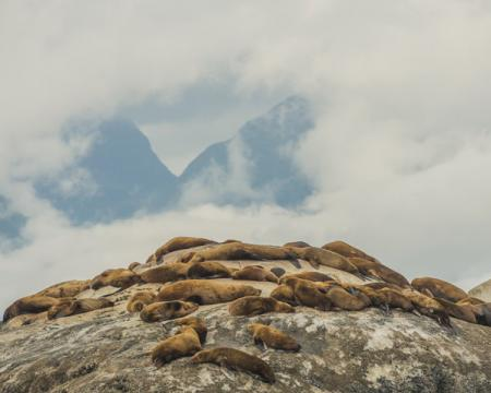 Sea lions ©Mark Kelley